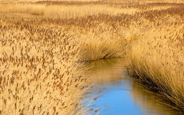 Reeds, River Glaven, Cley next the Sea, Norfolk Photo: Hanne Siebers